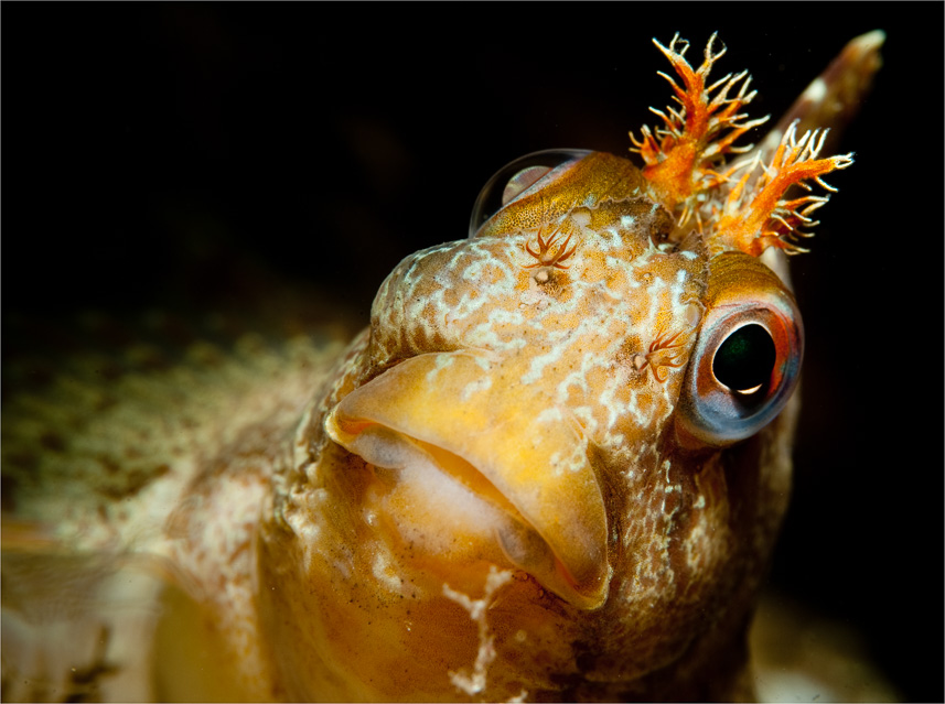 Just Curious: A Tompot Blenny , a fish with character!, Taken at Swange Pier on the south coast of the UK. Click on the image to see the full gallery from this location.