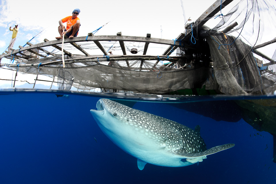 Whaleshark opportunistically feeding on disguarded catch under a fishing platform in West Papua, Indonesia. Click on the image to see the full gallery from this location