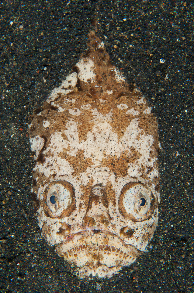 Death mask: Highly venomous, lightning speed, master of disguise and capable of giving electric shocks. The Stargazer is one formidable fish.